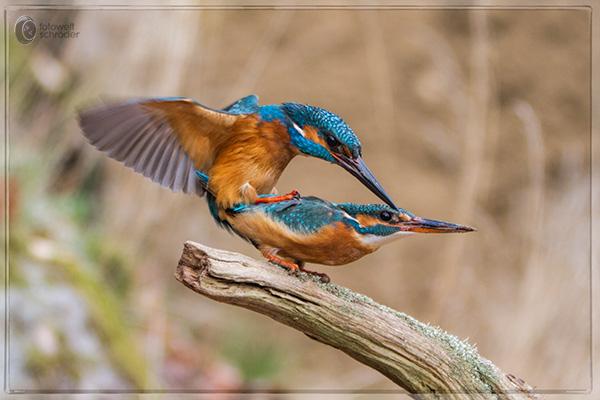 Wie paaren sich vögel