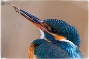 eisvogel 13