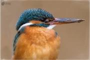 eisvogel 22