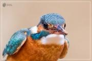 eisvogel 25