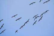 fliegender Kranich