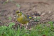 gruenfink 06