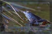 blauer Moorfrosch