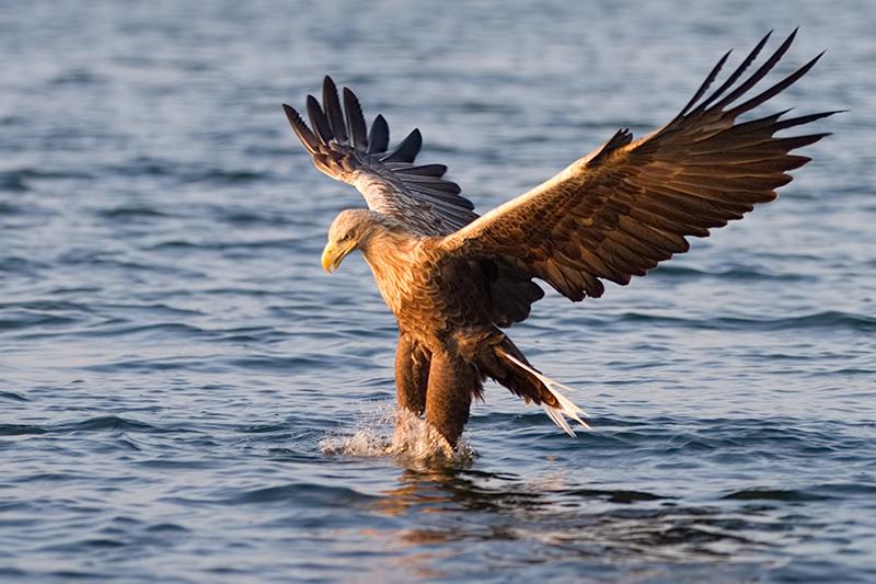 Spannweite Adler