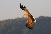Adler in Morensonne