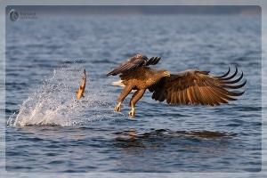 Seeadler verliert Beute