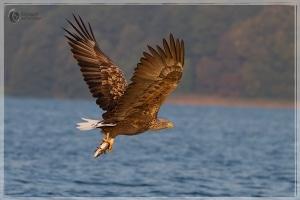 Seeadler mit Hecht