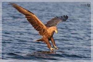 Seeadler Beute