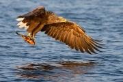 Seeadler - Jagterfolg