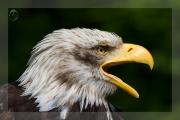 Weisskopfseeadler 15
