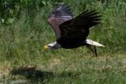Weisskopfseeadler 9