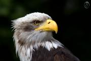 Weisskopfseeadler 11